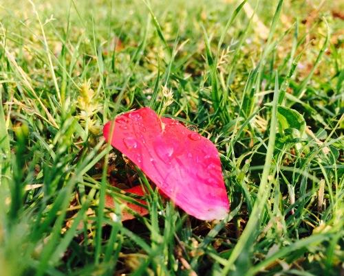 Wet_Rose_Petal